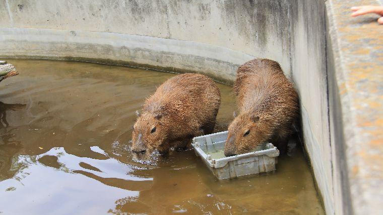 ウォーキングサファリ内にいるカピバラが水浴びをしながらエサを食べている