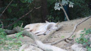 ウォーキングサファリ内のオオカミ繁殖センターだけにいるシンリンオオカミが寝転がってくつろいでる