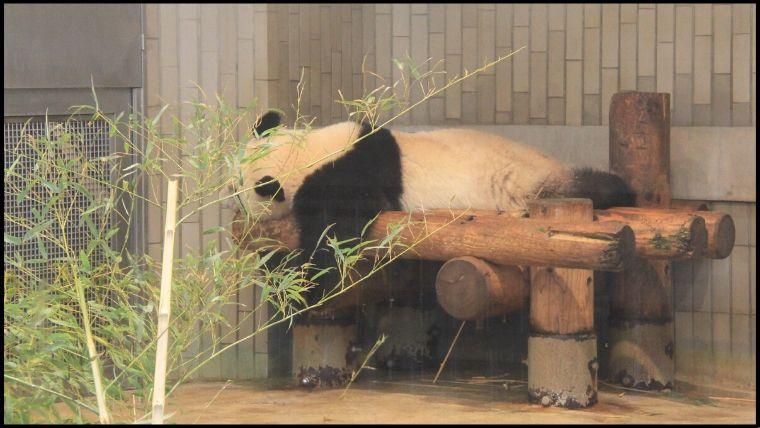 雨の日に行くと、いつもは長時間待つパンダも短時間の待ち時間で見ることができる。