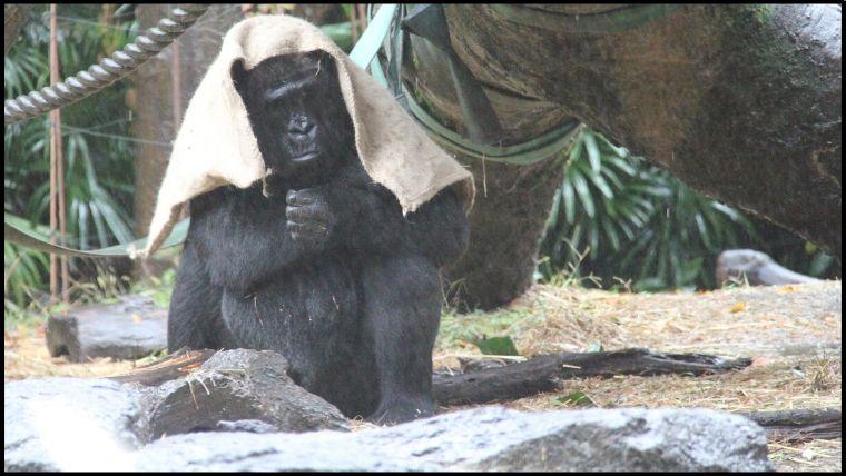 雨の降る中、頭からタオルみたいなものをかぶりながら屋根のない場所に移動したニシゴリラ